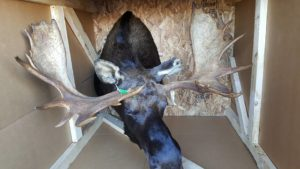 Moose hunting in Maine, guide, outfitter